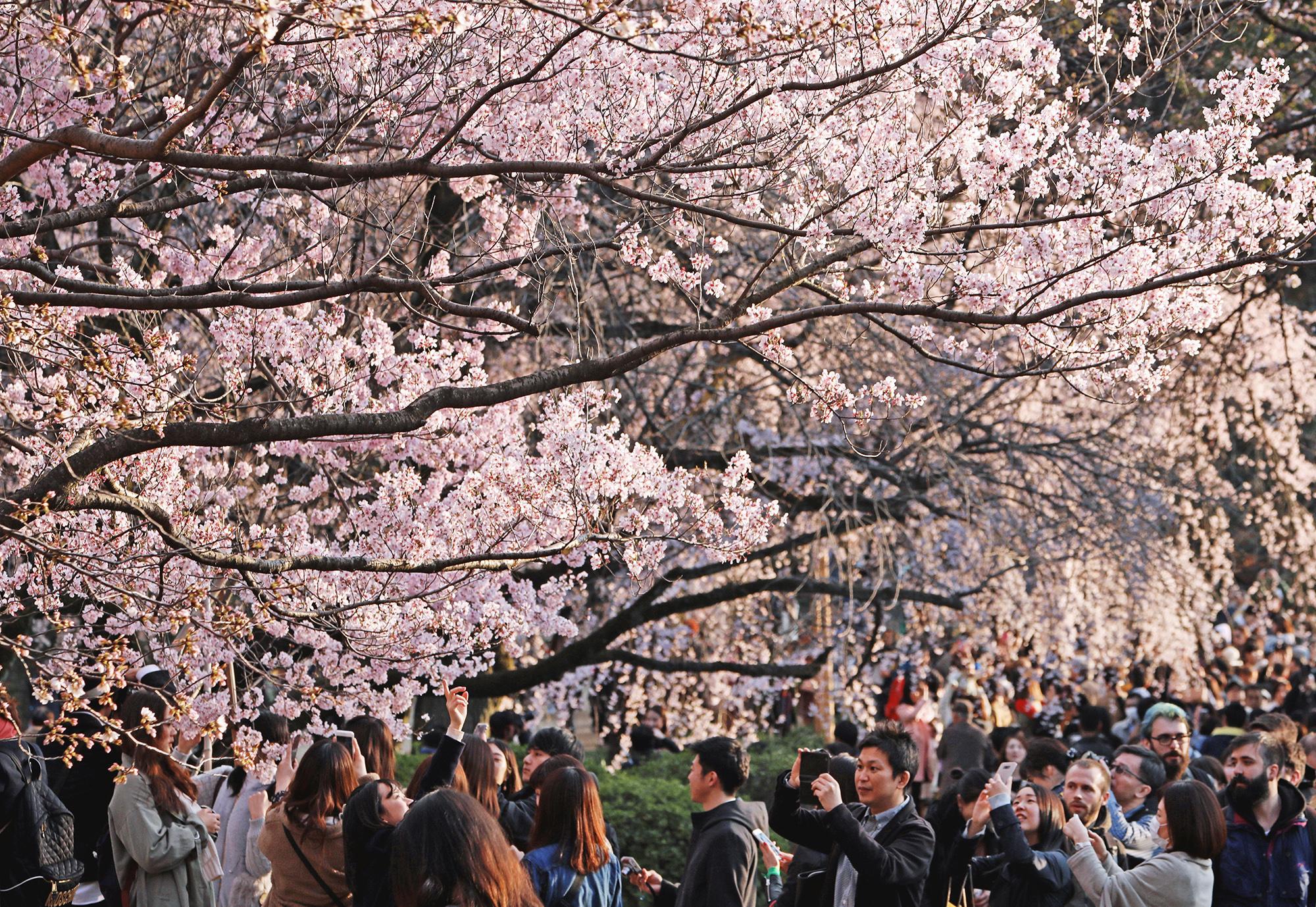 В парке Синдзюку Гёэн вСиндзюку, Токио, все пространство вокруг вокруг тех деревьев, которые уже расцветали, буквально заполонены людьми