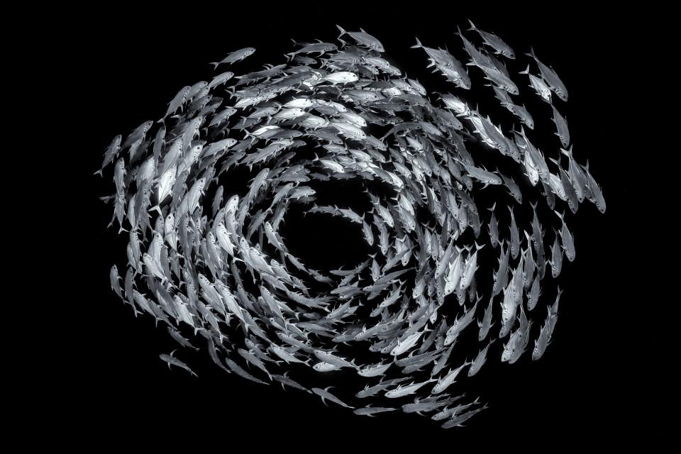 Косяк шестиполосых каранксов, кружащих вокруг рифа надне Красного моря