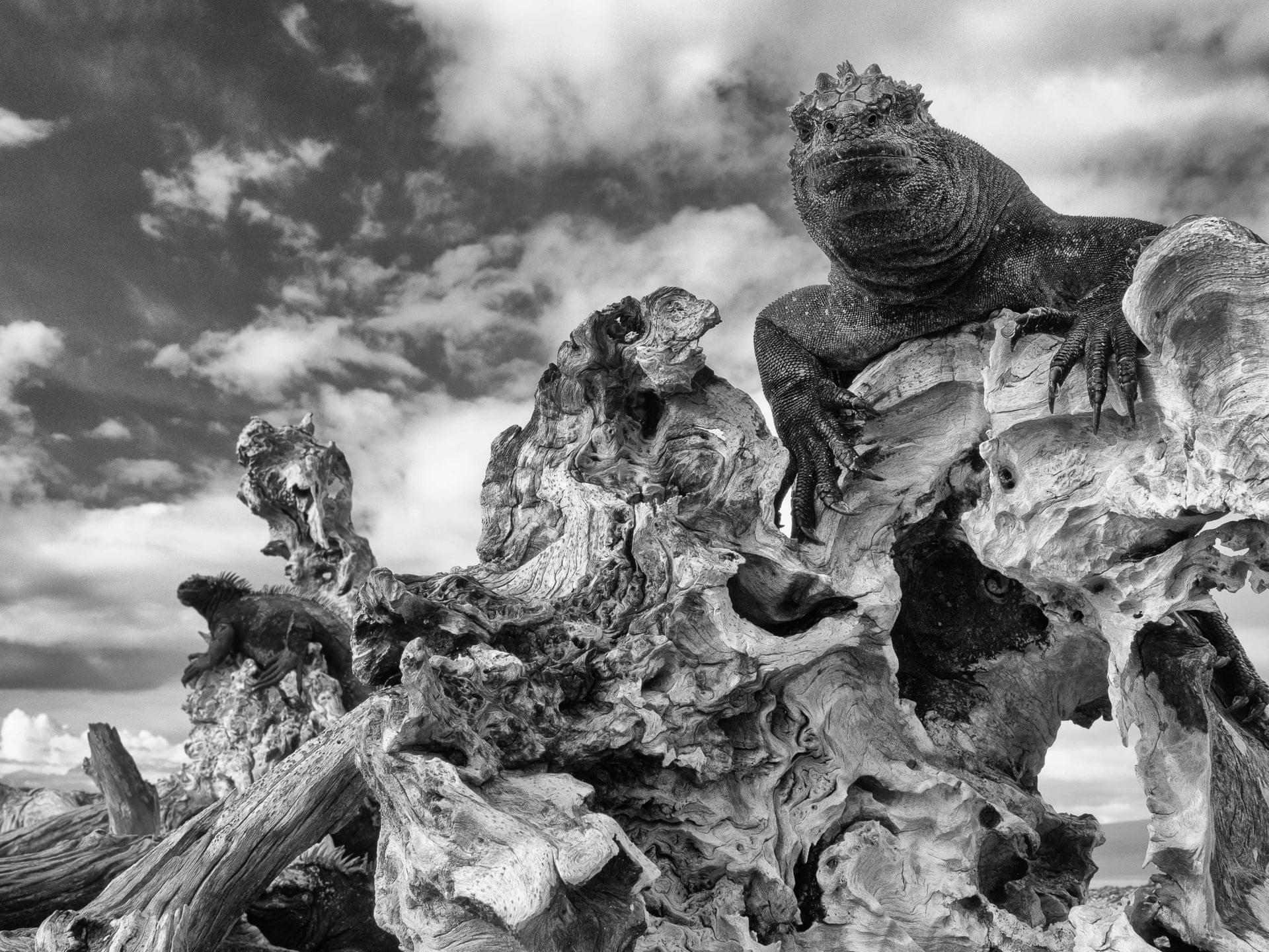 Морская игуана греется насолнце навулканическом архипелаге наГалапагосских островах. Это необходимо игуанам, чтобы быть активными.
