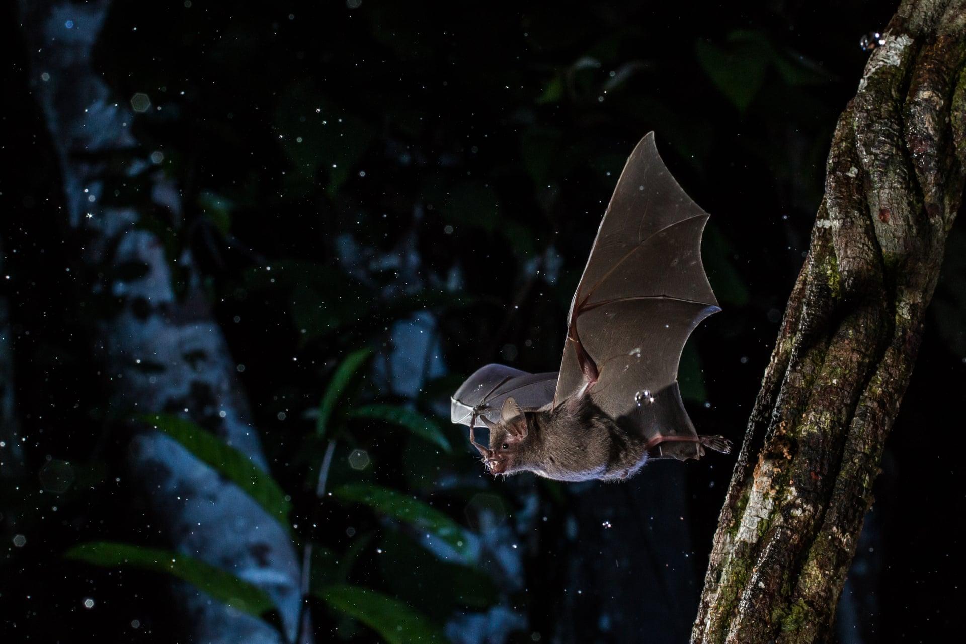 Полет короткоховстой летучей мыши поддождем вМанаусе, Бразилия. Это один изсамых распространенных видов врегионе Амазонки иживут вмолодых лесах, где питаются плодами растений. Отэтого вида зависят важные экосистемные процессы — например, рассеивание семян.