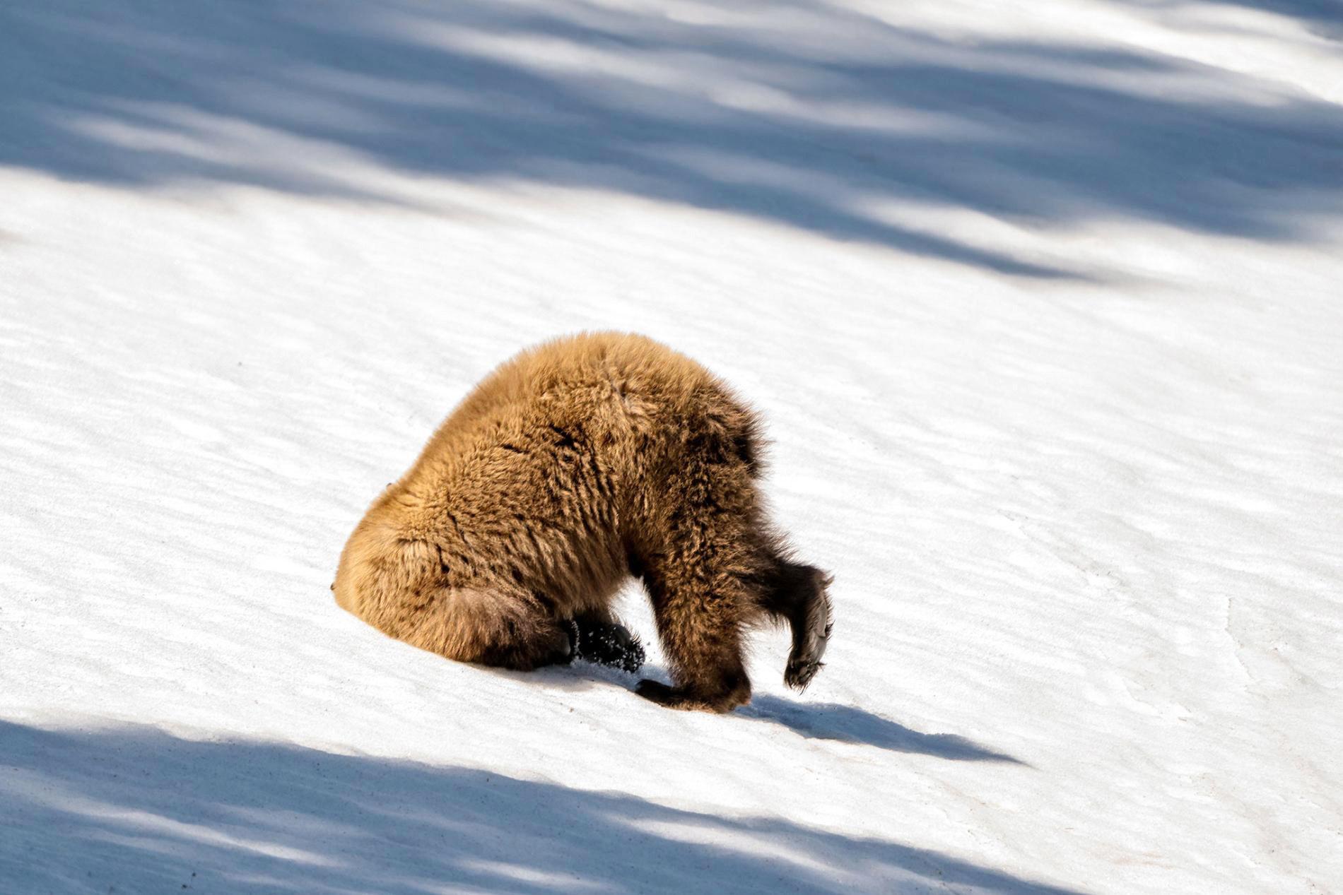 У медведя гризли незадалась прическа, Йеллоустонский национальный парк, США.