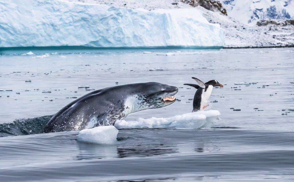 Пингвин Генту спасается отпреследующего его леопардового тюленя.
