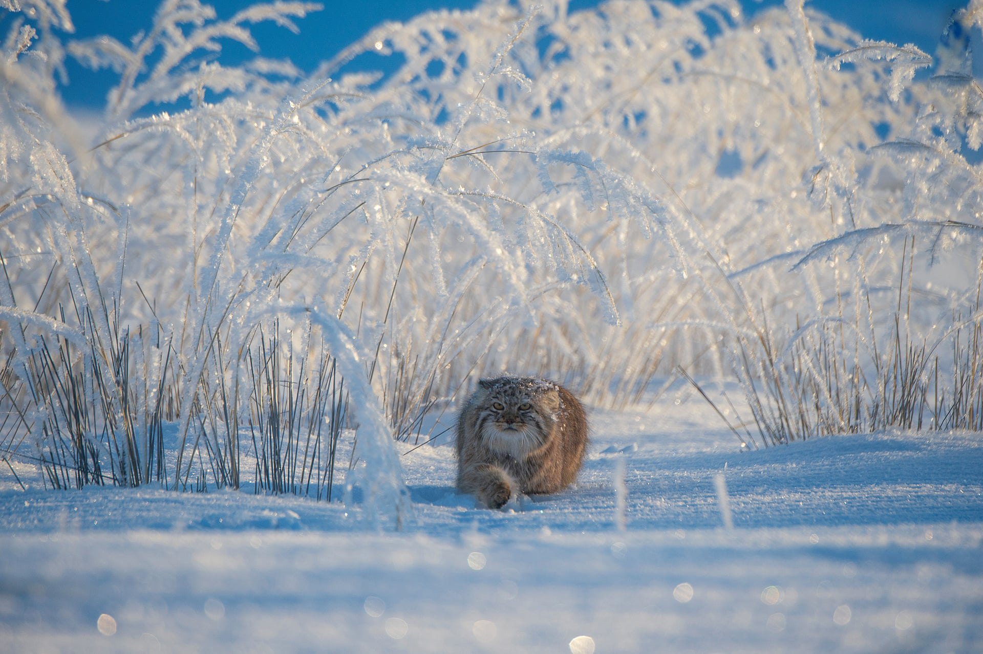 Winter's Tale by Valeriy Maleev (Russia)Maleev spotted this Pallas's cat while it was hunting in the Mongolian grasslands. It was bitterly cold day but the fairytale scene cancelled out the cold. Pallas's cats are no bigger than a domestic cat and they stalk small rodents, birds and occasionally insectsPhotograph: Valeriy Maleev/2019 Wildlife Photographer of the Year