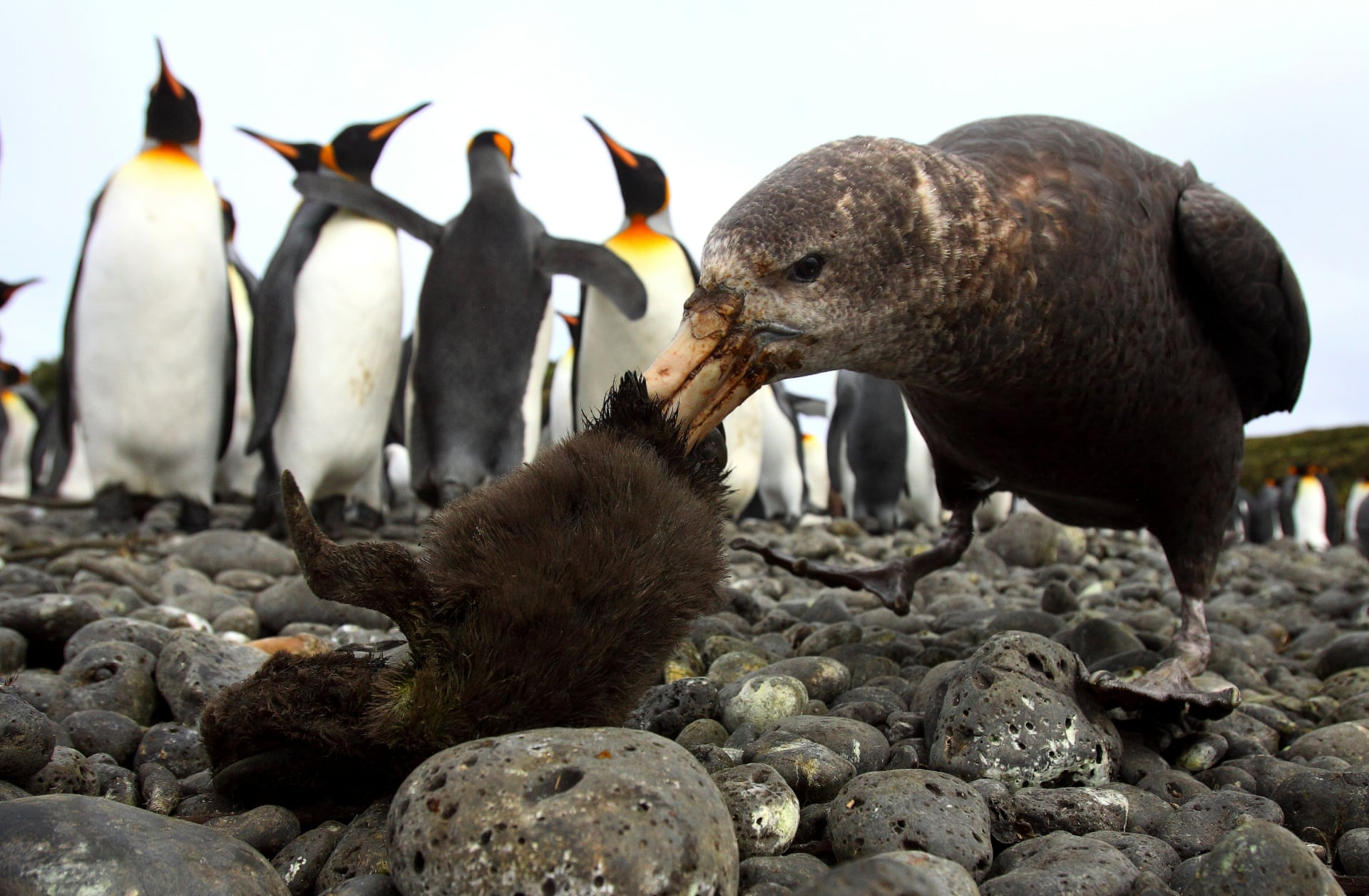 На этом фото южный гигантский буревестник нападает наптенца королевского пингвина, а взрослые пингвины стоят рядом исмотрят. Буревестники известны как падальщики, но их можно считать иназемными хищниками. Фото сделано наострове Марион.