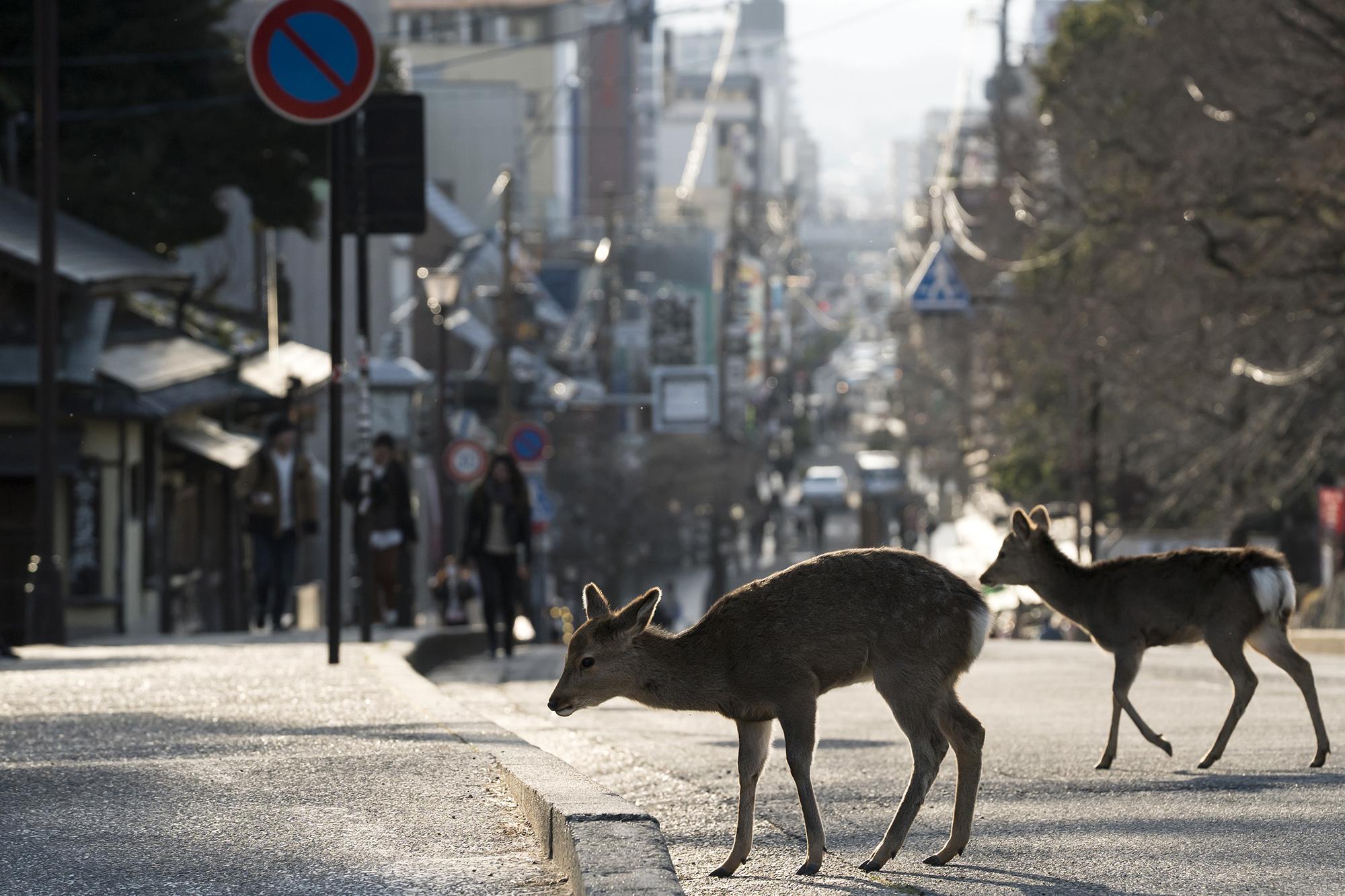 Пятнистый олень вНаре, Япония