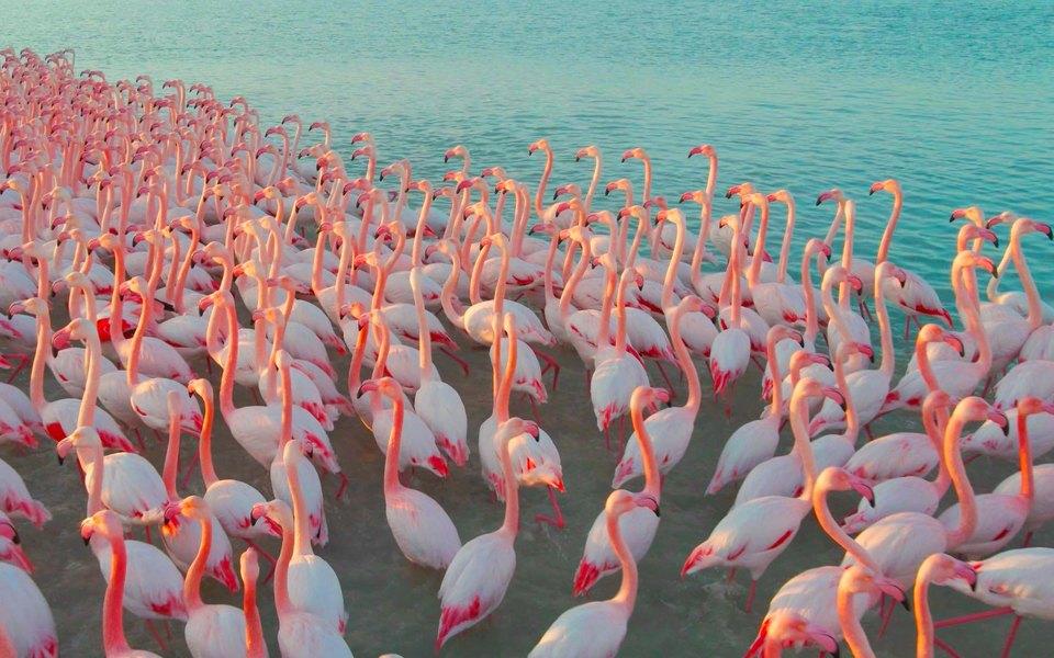 Стая розовых фламинго прилетела наказахстанское озеро Караколь. Завораживающее зрелище заснял местный житель — иполучил повестку отчиновников