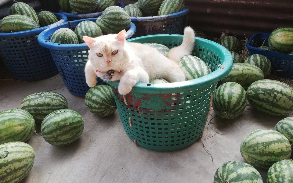 Самый суровый в мире кот живет в Таиланде и охраняет арбузы: его взгляд заставит вас содрогнуться