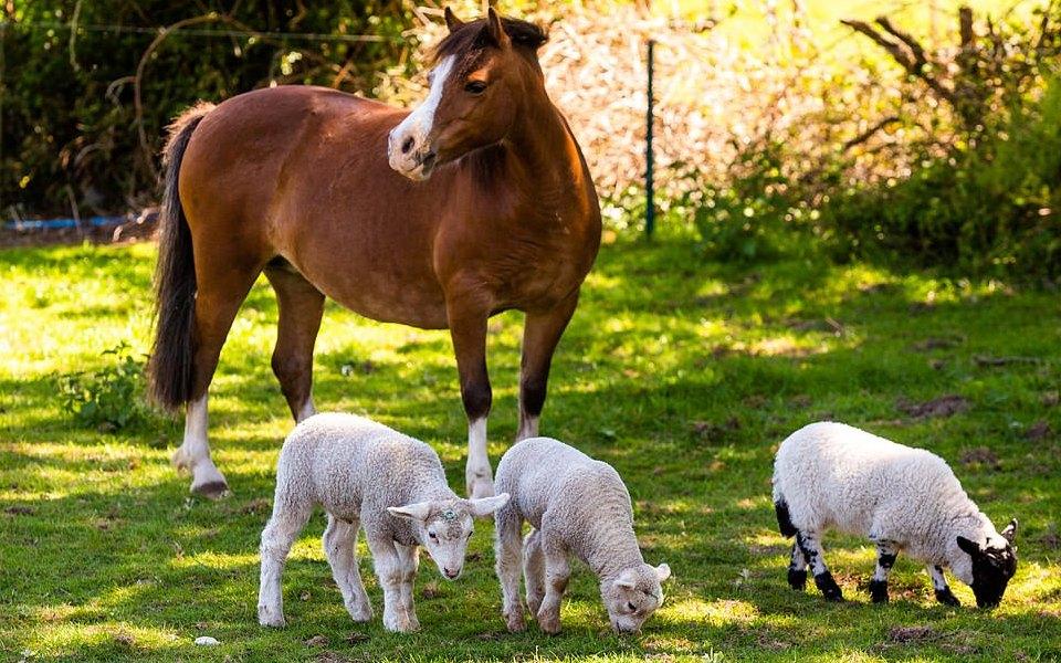 В Англии пони стала приемной мамой длятроих осиротевших ягнят
