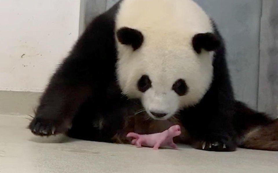 В Берлинском зоопарке большая панда Мэн Мэн родила двойню. Это большая редкость