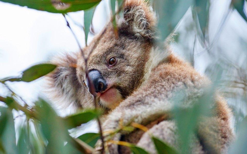 Коал могут признать вымирающим видом в некоторых регионах Австралии