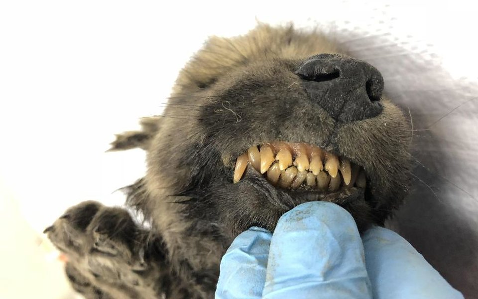 В Якутии нашли останки щенка возрастом 18 тысяч лет. Ученые пытаются выяснить, предком кого он является — собаки или волка