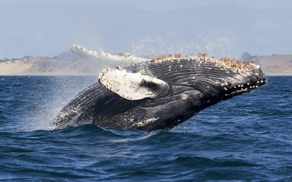 В США кит целиком проглотил аквалангиста. Мужчина выжил ипочти непострадал