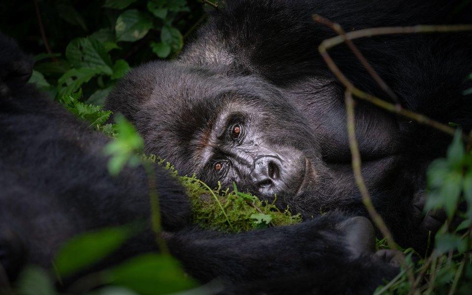 Жителя Уганды приговорили к 11 годам тюрьмы за убийство редкой горной гориллы