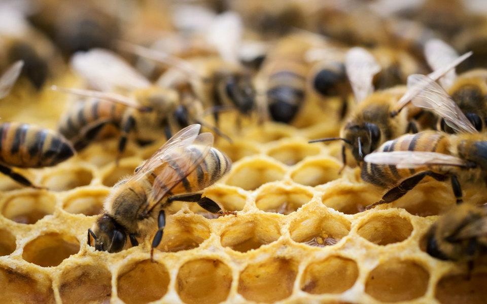 В России зафиксирована массовая гибель пчел. Причиной могло стать неконтролируемое распыление пестицидов
