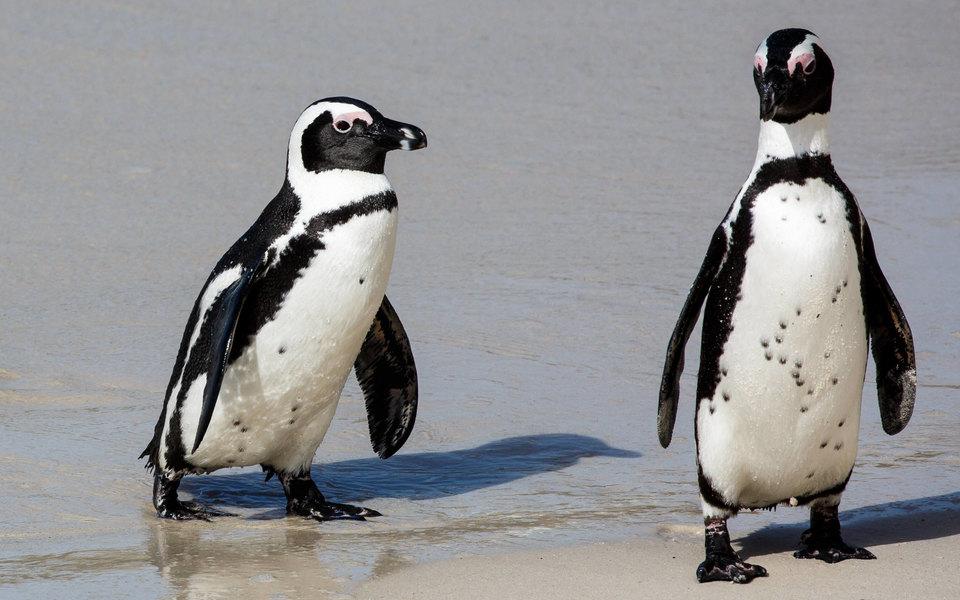 В ЮАР рой пчел до смерти искусал 63 африканских пингвина