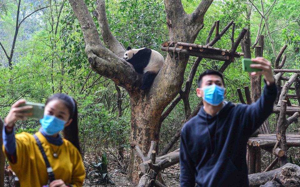 В Китае после карантина открылся центр исследования панд. Панды здоровы иготовы делать селфи