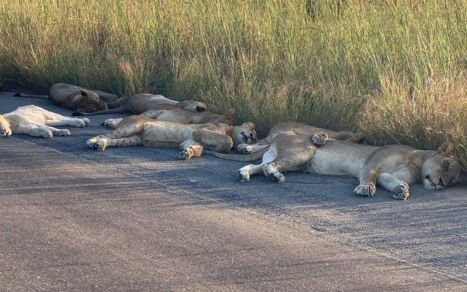 В мире безлюдей животные становятся все смелее. Теперь львы устраиваются спать прямо надороге