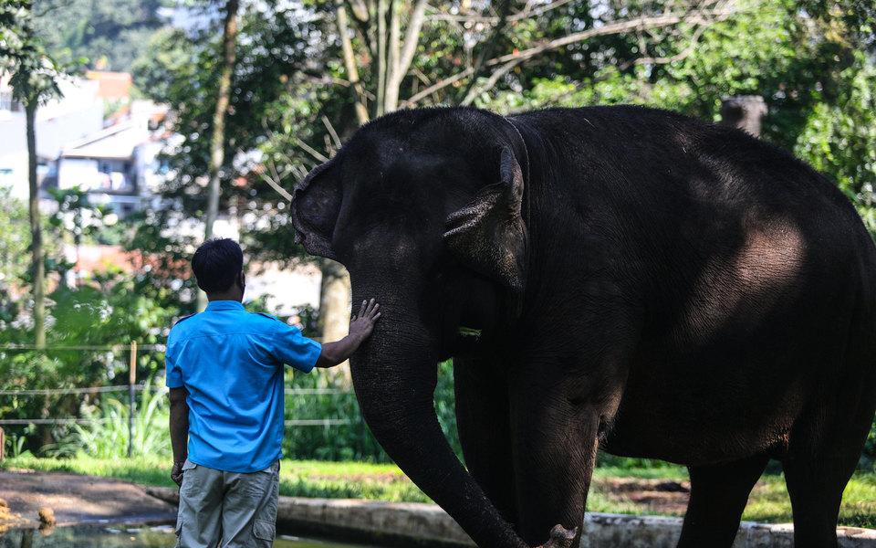 Работу из-за пандемии теряют не только люди: в Таиланде уволили около 100 слонов. Их отправили обратно на волю