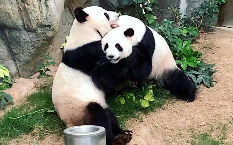 В зоопарке Гонконга спарились две большие панды. Их безуспешно пытались свести десять лет — помог карантин