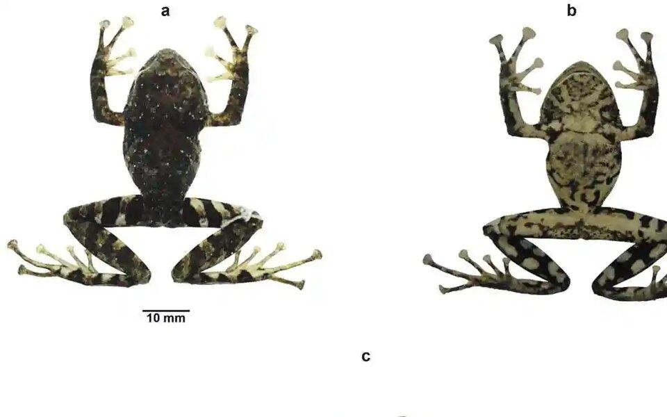 В Эквадоре новый вид лягушек назвали в честь британской рок-группы Led Zeppelin