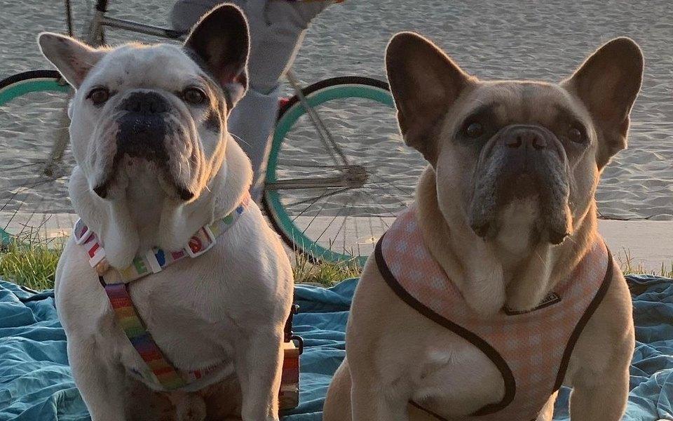 Полиция Лос-Анджелеса арестовала пятерых подозреваемых в похищении двух собак Леди Гаги