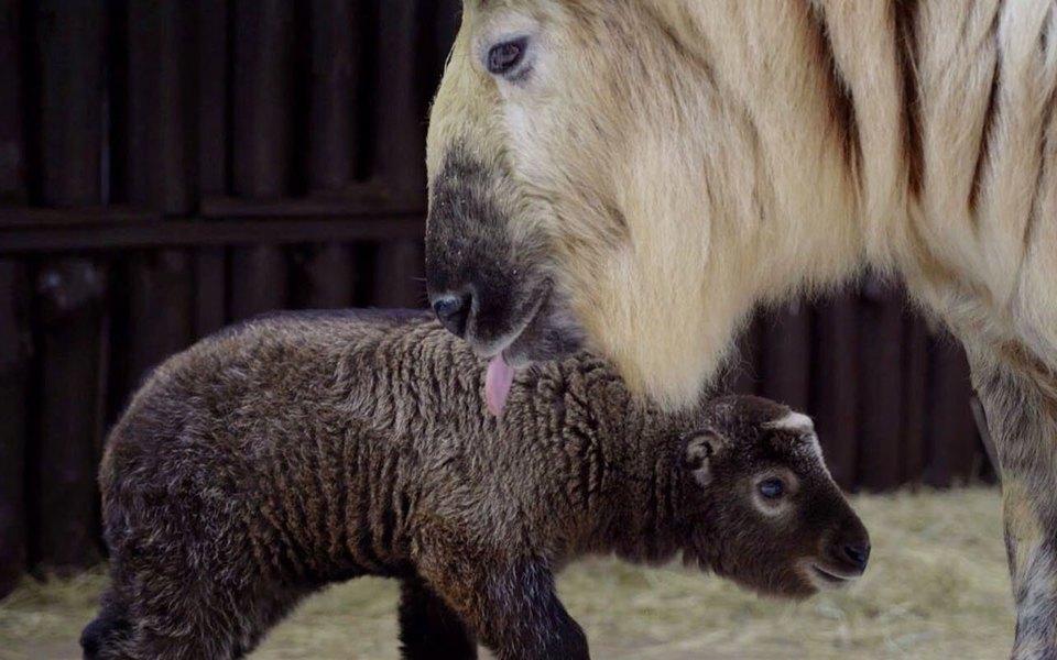 В Московском зоопарке родился детеныш краснокнижного сычуаньского такина