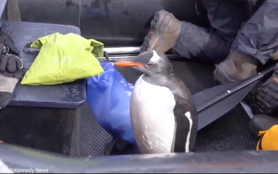 Пингвин запрыгнул в лодку к туристам, чтобы спастись от голодных косаток