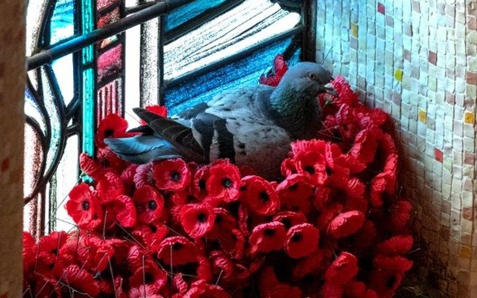 В Австралии смогилы Неизвестного солдата стали пропадать цветы. Оказалось, их похищал голубь — чтобы свить себе гнездо
