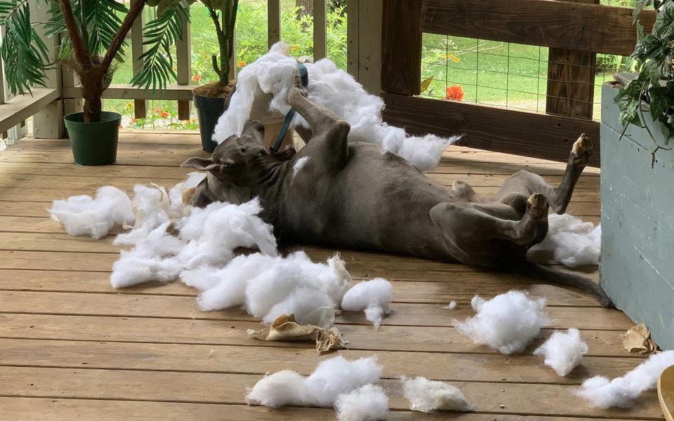 «Он был очень доволен собой»: американка пришла домой ирешила, что ее ограбили. Оказалось, дом слегка разрушил ее пес
