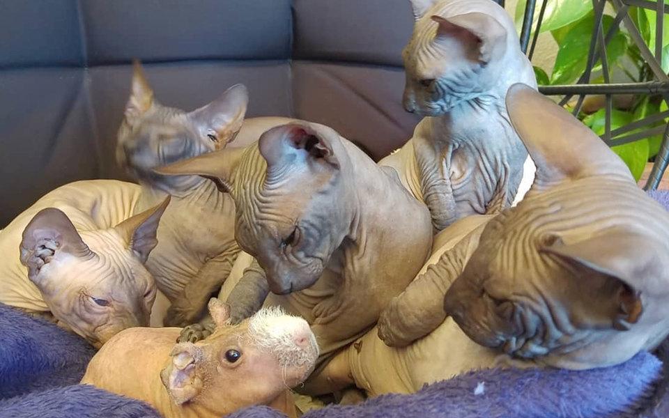 В Испании семья кошек приютила морскую свинку. И доказала, что происхождение — не главное