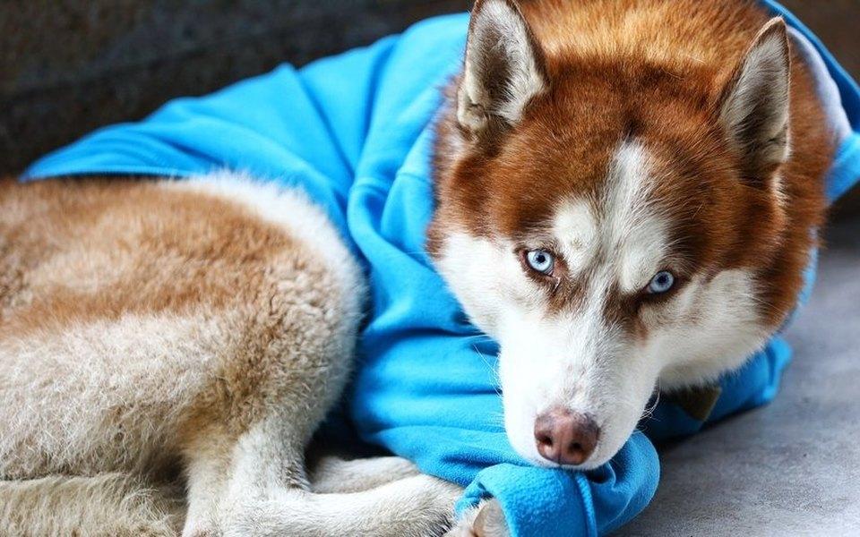 В Калининграде хаски всинем свитере по8 часов ждет хозяйку сработы. Потому что он скучает!