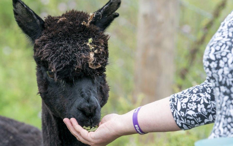 В Британии усыпили альпака Джеронимо, у которого нашли туберкулез. Против его убийства выступали более 140 тысяч человек