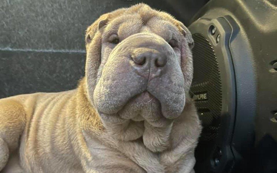 В Канаде наркозависимая украла шарпея. Позже она решила вернуть собаку хозяину, но вместо возмездия он оплатил похитительнице реабилитацию