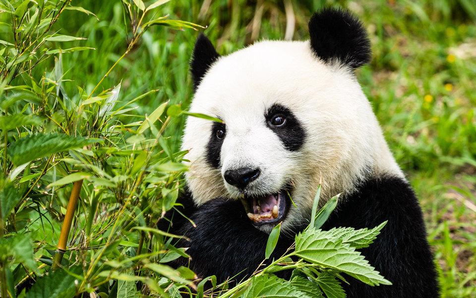 В Токио открылся зоопарк. Гости спешат пообщаться с пандой Сян Сян