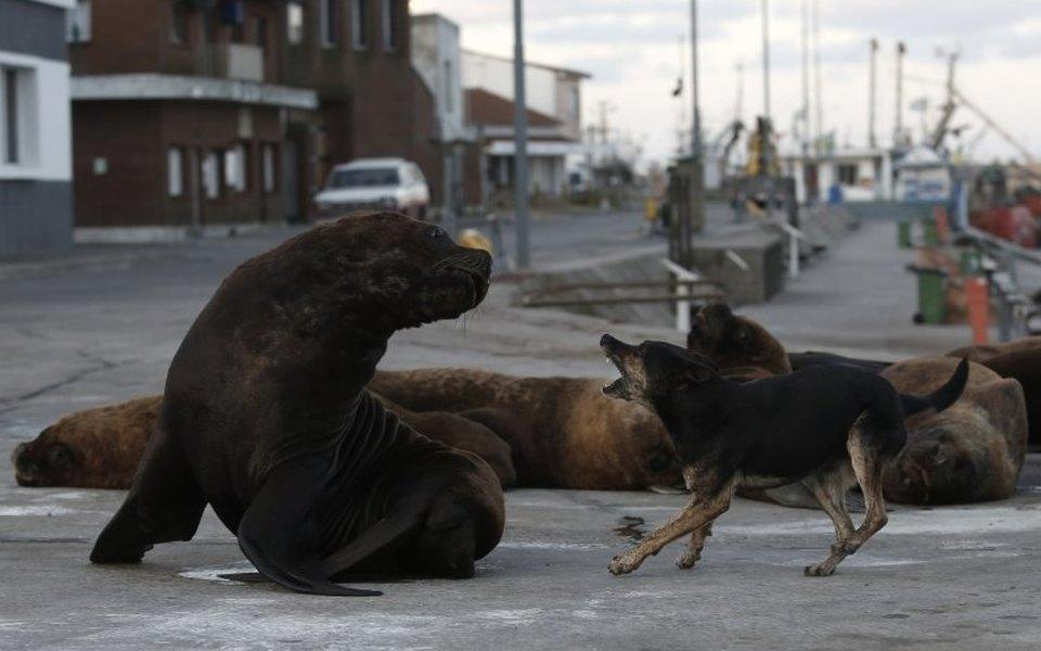 Ситуация: поопустевшим улицам города вАргентине гуляют морские львы