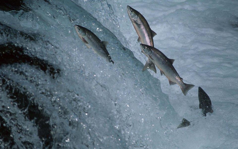 На Аляске стало так жарко, что лосось погибает отжары во время нереста