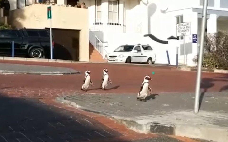 Пингвины разгуливают по пустому Кейптауну | Журнал Esquire.ru
