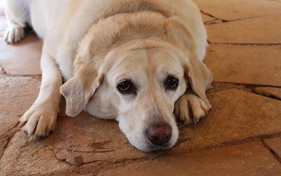 Упитанный лабрадор застрял вдверном собачьем проеме, а впопытке освободиться выломал всю дверь (и стал звездой соцсетей)