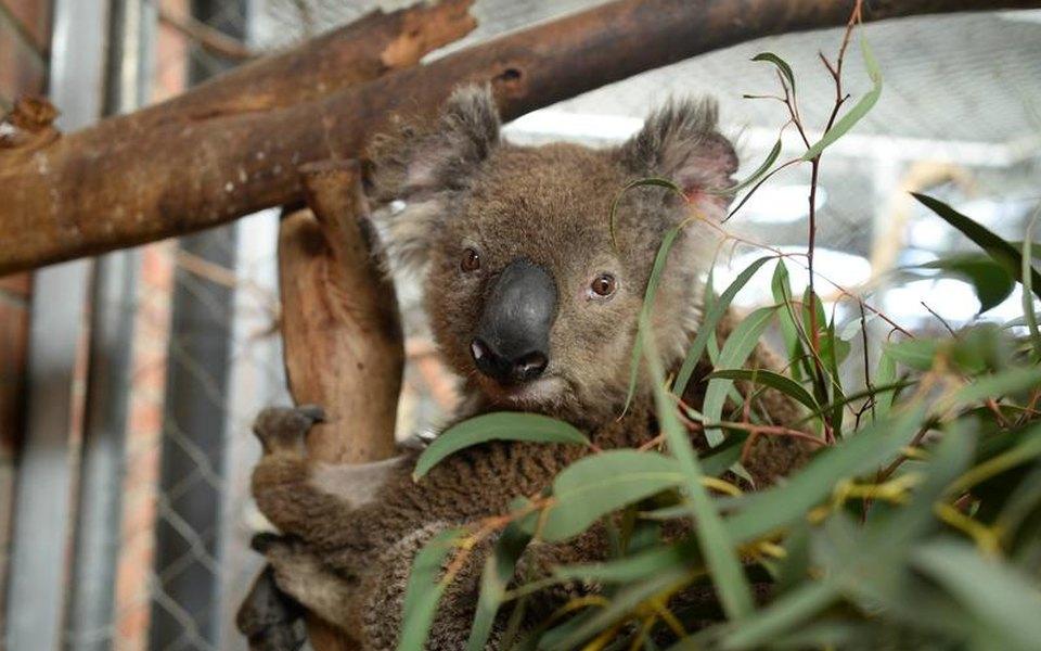 Ученые 13 лет немогли выяснить, как пьют коалы. Но одно видео раскрыло тайну