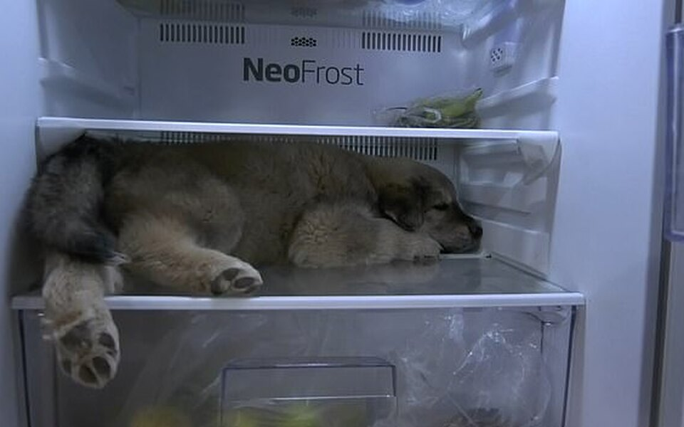 В Таиланде щенок придумал необычный способ спастись отжары — спрятался вхолодильнике