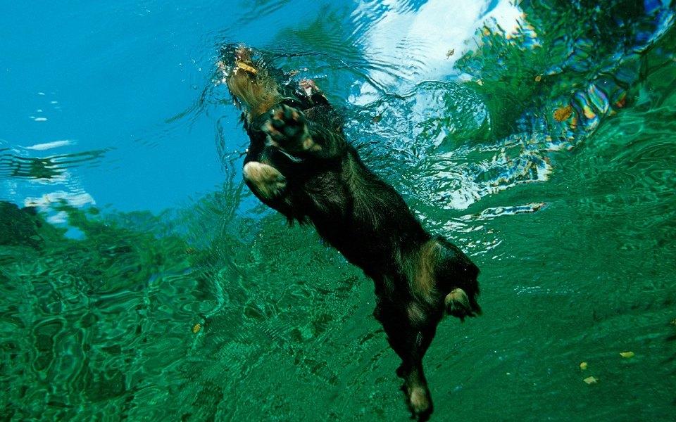 Посмотрите, как собака спасает тонущего олененка
