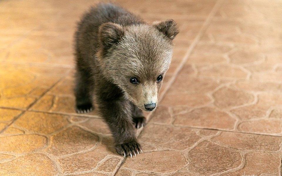 В Белоруссии фермер приютил маленького медвежонка. Детеныш остался безмамы исам вышел клюдям