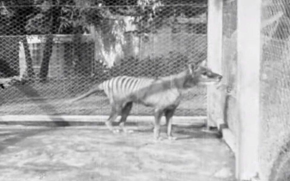 Опубликовано последнее видео с сумчатым волком. Эти животные вымерли больше 80 лет назад