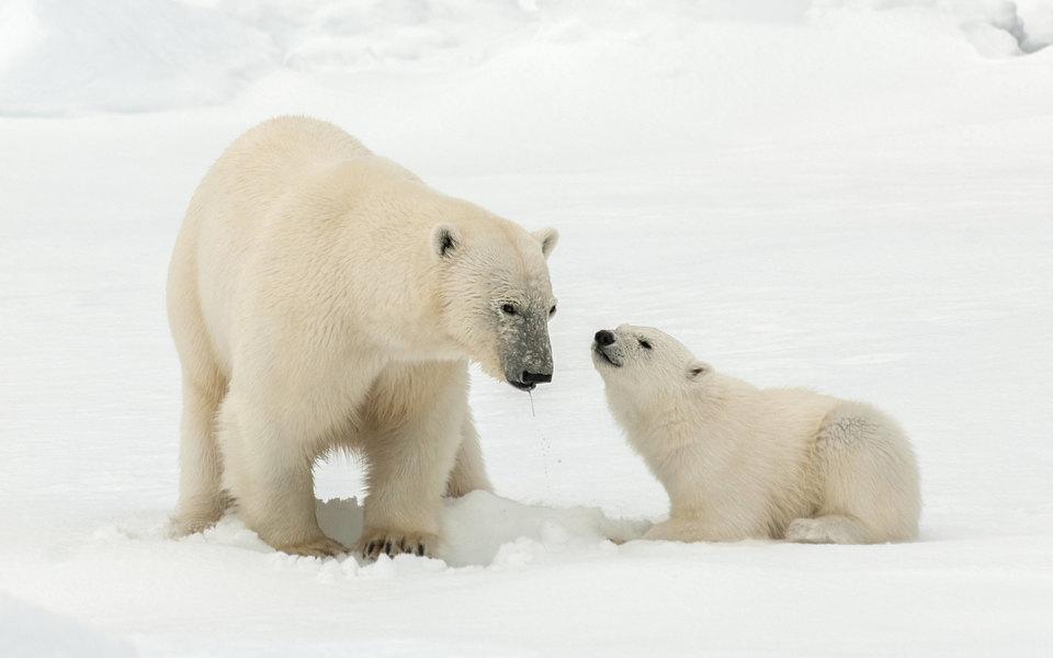 Белые медведи могут исчезнуть к 2100 году из-за глобального потепления
