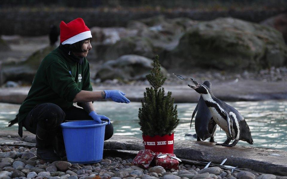 Лондонский аквариум развлекает пингвинов, скучающих повниманию посетителей, рождественскими фильмами