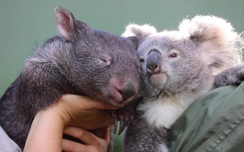 В Австралии между коалой ивомбатом завязалась крепкая дружба. Привстрече животные целуют друг друга внос, а вразлуке — скучают