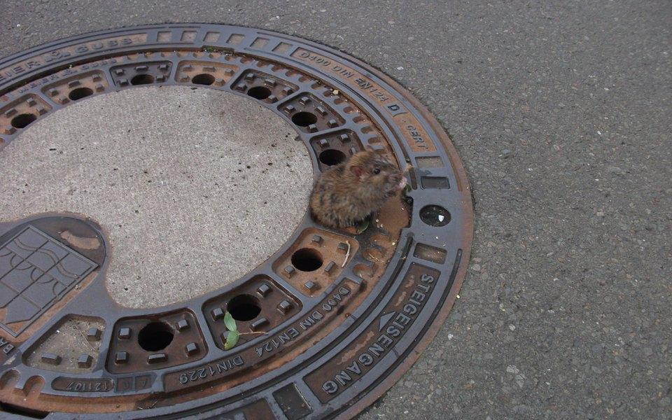 В Германии пожарные спасли крысу, застрявшую вкрышке канализационного люка