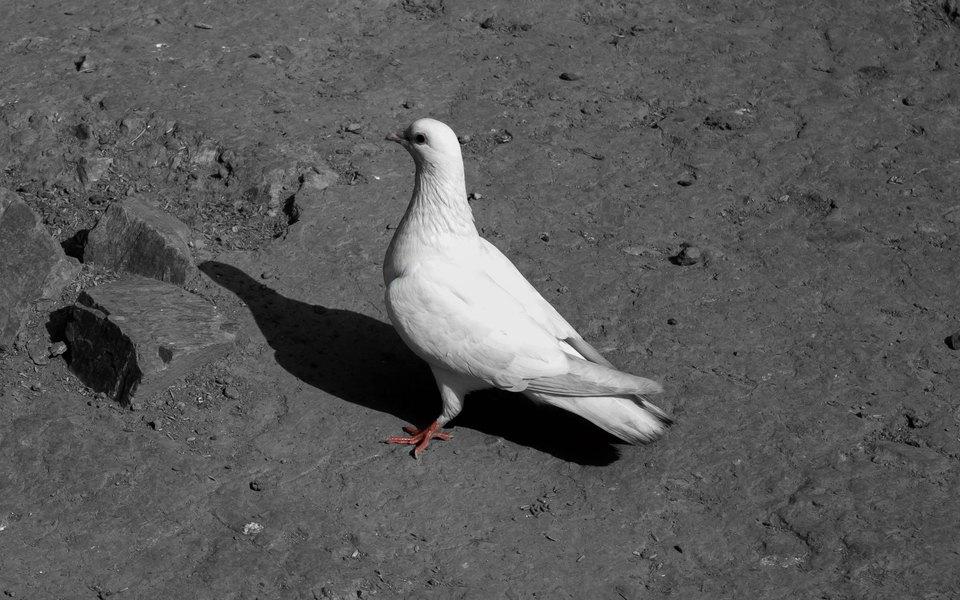 «Мы вместе, потому что так нам хорошо»: 80-летний француз спас голубя. Теперь они неразлучны