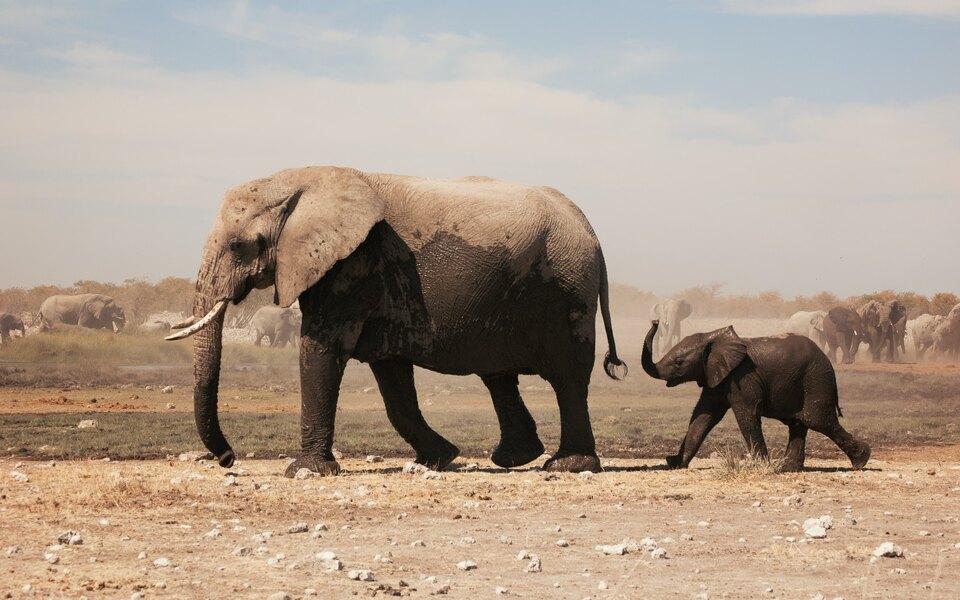 Намибия продаст более 200 слонов из-за засухи иувеличения популяции