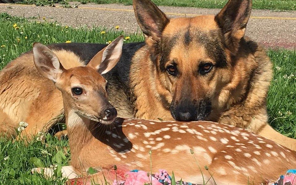 Собаки — отличные воспитатели. Посмотрите на немецкую овчарку, которая растит оленят